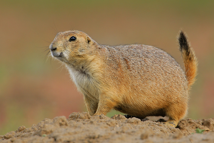 Black Tailed And White Tailed Prairie Dogs